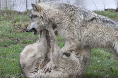 Dominierender Wolf Lizenzfreie Stockbilder