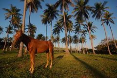 Dominikanische Küste und Pferd Stockbild
