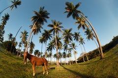 Dominikanische Küste und Pferd Stockbilder