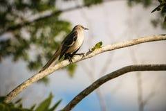 Dominikansk fågel Arkivbilder