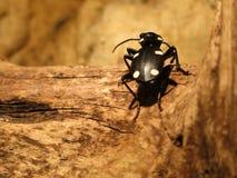 Domino beetle Stock Photos