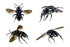 Domino Cuckoo Bee, Thyreus lugubris Stock Photo