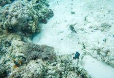 Dominobrickaung ogift kvinna och Anemone Fish Arkivbilder