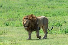 Dominujący męski Afrykański lew od Ngorongoro dumy Obraz Stock