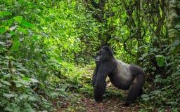 Dominujący męski halny goryl w tropikalnym lesie deszczowym Uganda Bwindi Nieprzebity Lasowy park narodowy Zdjęcie Stock