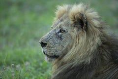 Dominujący męski lew pełno blizny obraz royalty free
