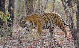 Dominująca samiec Królewski Bengalia tygrys Obrazy Royalty Free