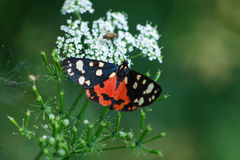 Dominula del Callimorpha della farfalla fotografia stock libera da diritti