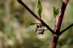 Dominula Polistes, гнездо и дерево - время весны стоковое фото