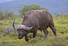 Domkrag Büffel Stockbilder