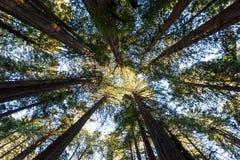 Domkyrka av sequoior och redwoodträd i Muir Woods Royaltyfria Bilder