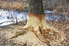 Dommages d'arbre de castor Image libre de droits