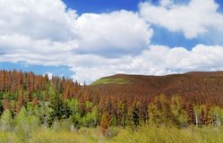 Dommages de coléoptère de pin - concept de réchauffement global photographie stock