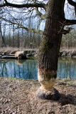 Dommages de rongement d'arbre de castor dans la forêt Image stock