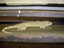Domowa łaciasta jaszczurka zdjęcia stock
