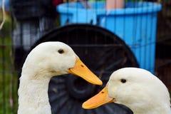 Domowa biała kaczka zdjęcia stock