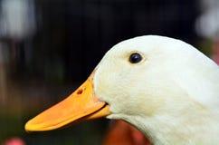 Domowa biała kaczka fotografia royalty free