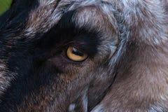 Domowa kózka, Capra aegagrus hircus zakończenia up/makro- oko z prostokątnym uczniem fotografia stock