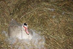 domowa kaczka Muscovy Obraz Royalty Free
