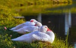 Domowa kaczka relaksuje po pływać Zdjęcia Royalty Free