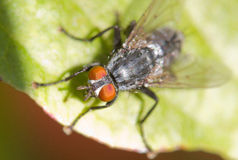 Domowa komarnica Obrazy Stock