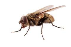 Domowa komarnica Zdjęcia Royalty Free