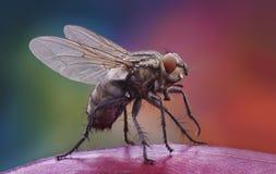 Domowa komarnica na jabłku fotografia stock