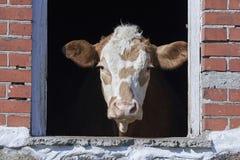 Domowa krowa przyglądająca out okno Zdjęcie Royalty Free