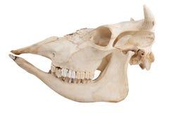 domowa krowy czaszka Obrazy Stock