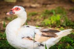 Domowa Muscovy kaczka w otwarty uprawiać ziemię Muscovy kaczka (C Zdjęcia Royalty Free