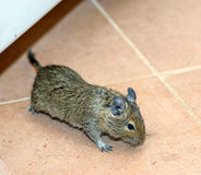 Domowa mysz Fotografia Stock