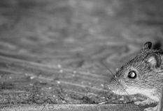 Domowa mysz Obrazy Royalty Free