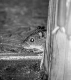 Domowa mysz Fotografia Royalty Free