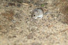 Domowa mysz zdjęcia stock