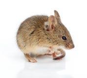 Domowa mysz (Mus musculus) obraz royalty free