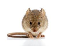 Domowa mysz (Mus musculus) obraz stock