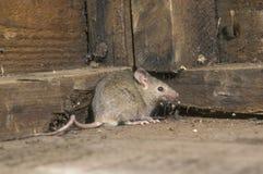 Domowa mysz, Mus musculus obrazy royalty free