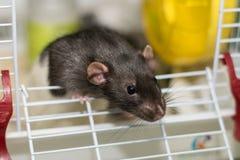 Domowa mysz w klatce patrzeje wokoło Zdjęcia Stock