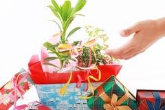 Domowa roślina z prezentów pudełkami Zdjęcia Royalty Free