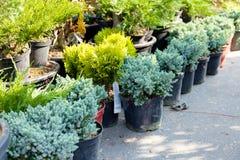 Domowa rośliny sprzedaż, pepiniera charcica zdjęcia royalty free