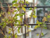 Domowa Roślina Obraz Stock