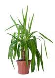 Domowa roślina Obrazy Royalty Free