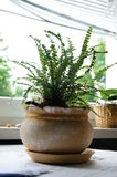 Domowa Roślina Zdjęcia Stock