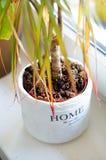 Domowa Roślina Zdjęcie Royalty Free
