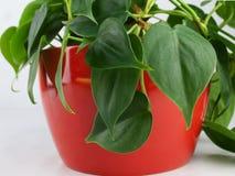 Domowa roślina w czerwonym plantatorze Obraz Royalty Free
