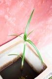 Domowa roślina w flowerpot Obraz Royalty Free