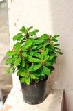 Domowa roślina w garnku Obrazy Royalty Free