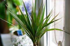 Domowa Roślina Obraz Royalty Free