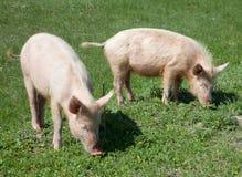 domowa świnia Fotografia Royalty Free