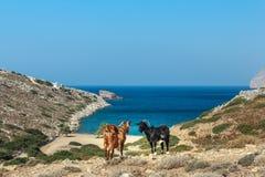 Domowe czarne i czerwone kózki stoją przy dryland paśnikiem i błękitnym dennym tłem na Kalymnos wyspie w Grecja Zdjęcie Stock